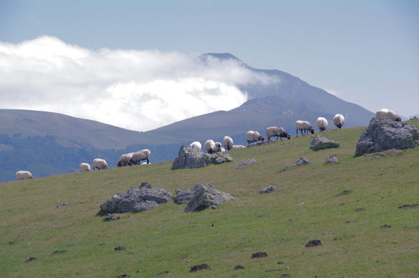 Moutons sur les flancs du Sommet d_Occabé, au fond, le Pic d_Orhy