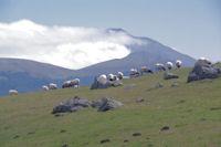 Moutons sur les flancs du Sommet d'Occabe, au fond, le Pic d'Orhy