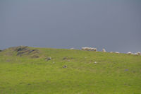 Moutons en estive au Pic d'Orisson