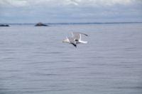 Un goelan au depart de l'Ile de St Nicolas au Glenan