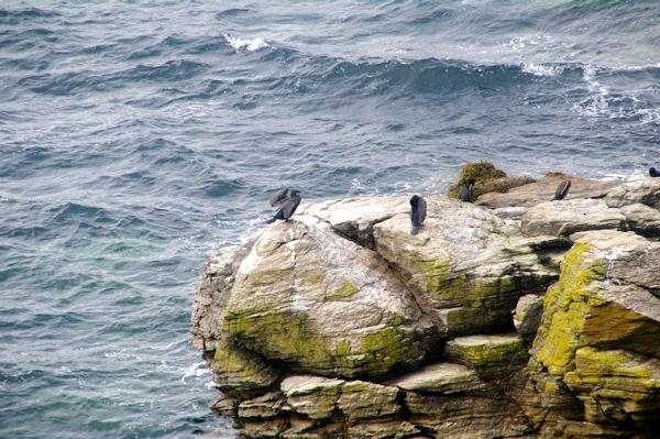 Cormorans au séchage