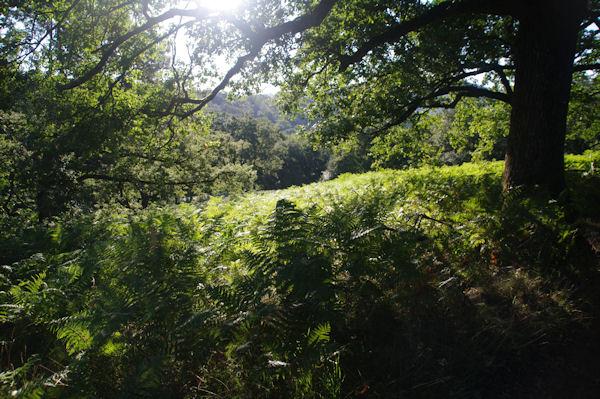 Le GR65 dans le Bois d_Ostabat