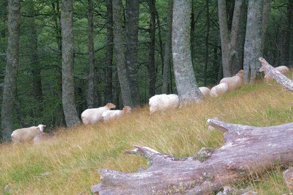 Des moutons dans la hêtraie à Vurriaguera