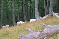 Des moutons dans la hetraie a Vurriaguera