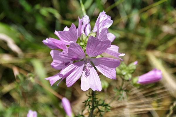 Jolies fleurs sur le GR65