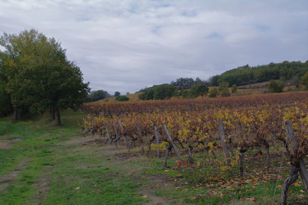 Les vignes à la sortie de Saurs
