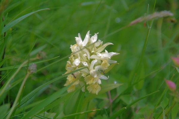 Une orchidée à la Pleta de Riberes