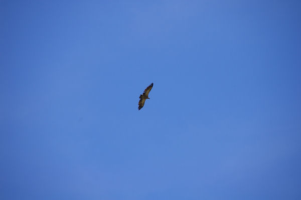 Un vautour fauve
