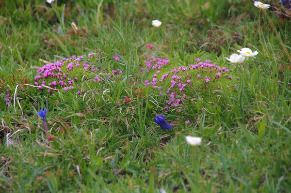 Prairie fleurie au dessu du refuge Angel Orus