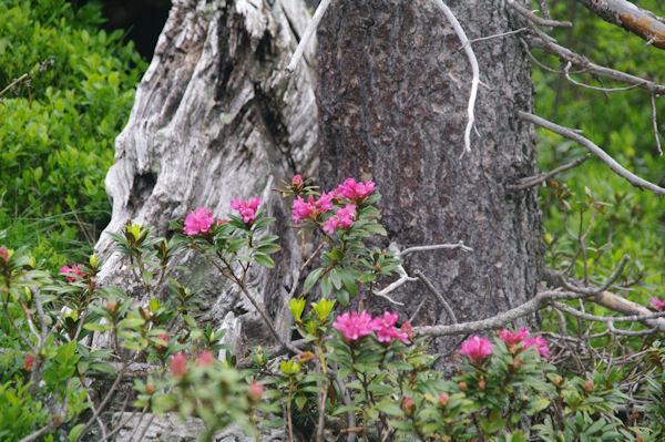 Des rhododendrons dans la Pinède de les Riberes
