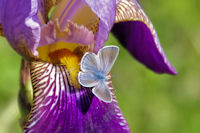 Iris et papillon