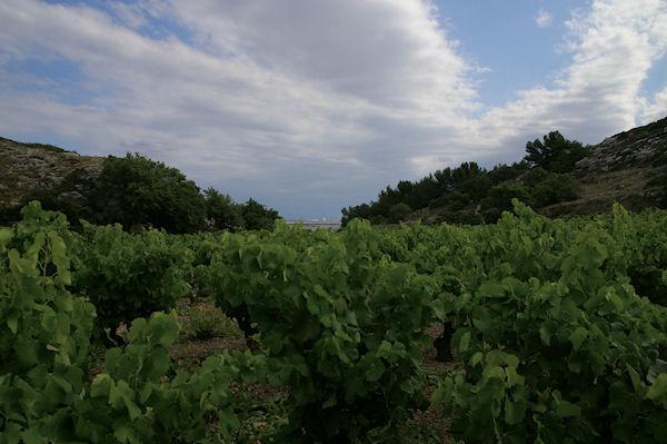 Les vignes de La Clotte, au fond on apperçoit Port La Nouvelle