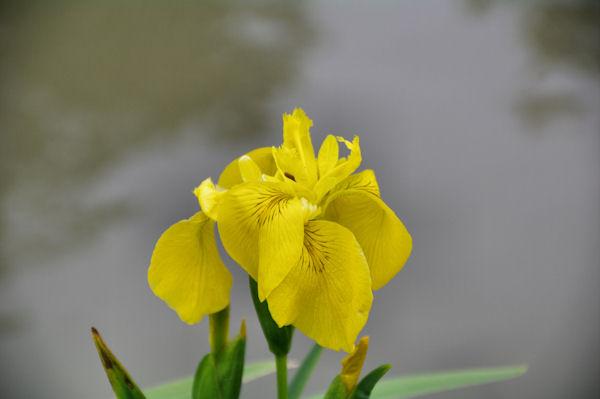 Iris jaunes au bord du Canal du Midi