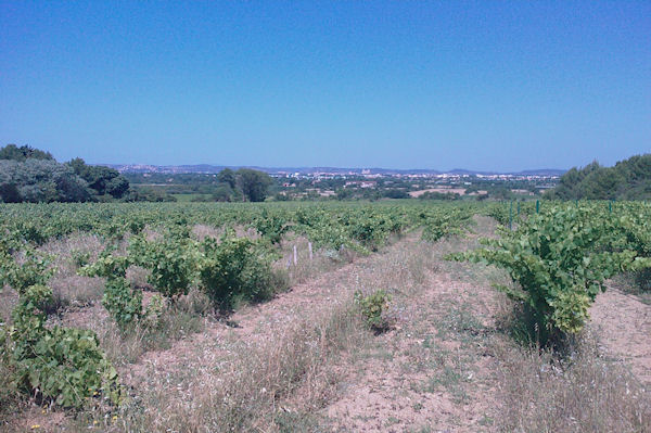 Les vignes de la Combe des Couleuvres, au fond, Narbonne