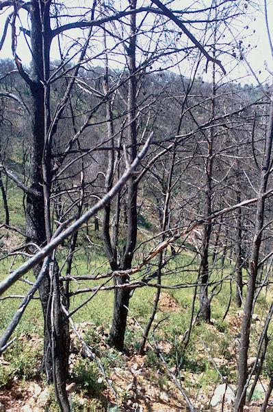 Les arbres calcinés en descendant vers la Combe des Couleuvres