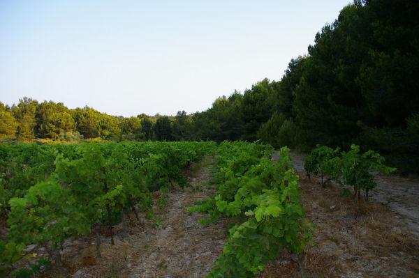 La vigne à l'entrée de la Combe de Lavit