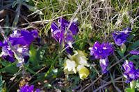 Iris nains jaunes et violets