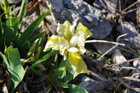 Un iris jaune nain
