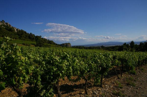 Le vignoble du Domaine des Figuières