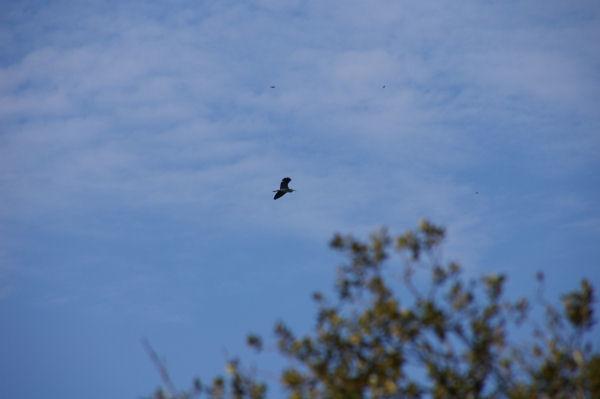 Un héron au dessus de la combe de Barboussière