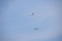 Un vol d'Avocelles