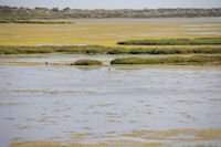 Une Avocelle au milieu des algues