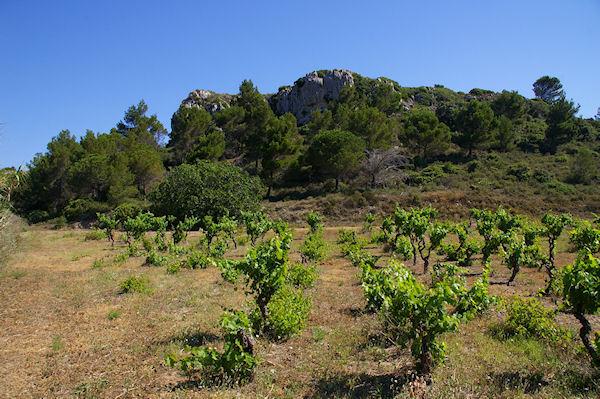 Quelques vignes à St Pierre