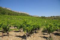 Les vignes de la garrigue de Fontenille