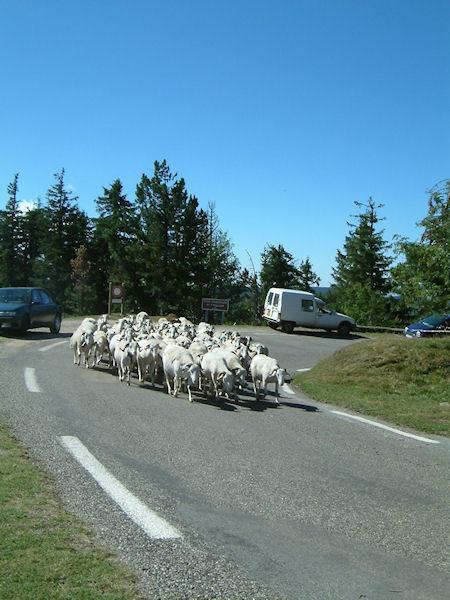 Un troupeau de moutons en estive sous le Mt Aigual