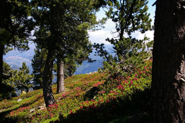 La forêt de Pins et de rhododendron sous la Mener de l&#39Or