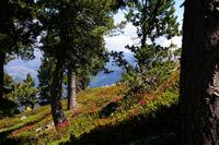 La foret de Pins et de rhododendron sous la Mener de l&#39Or