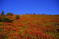 Les pentes du Pic Joffre illuminees de rhododendrons