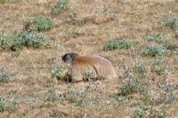 Jolie marmotte au Bac de la Culassa