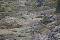 Quelques moufflons au dessus du Rec de l'Estany de Font Viva