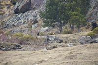 Deux moufflons au dessus du Lac d'el Passet