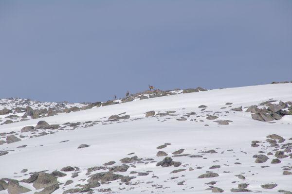 Trois isards sur les pentes du Puig de Campcardos
