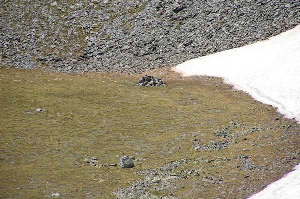 Un orris en montant au Puigmal d_Err