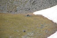 Un orris en montant au Puigmal d'Err
