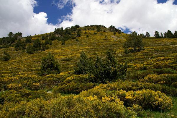 Des genets dorant les pentes du Puigmal de Llo
