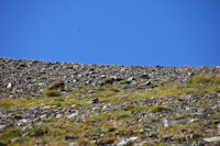 Deux marmottes en remontant vers Els Clots de Duraneu