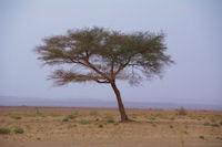 Un acacias dans l'Oued en Naam