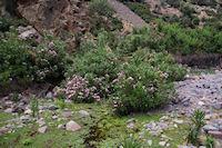 Des lauriers roses dans le lit asseche de l'Assif n'Ouarzane apres Tassa Wirgane