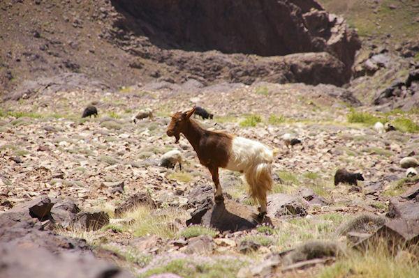 Quelques chèvres sur les pentes de l&#39Aguelzim