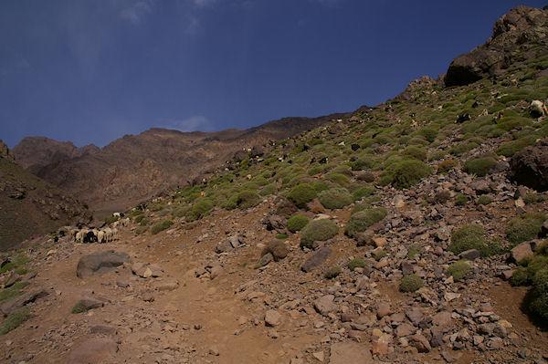 Un troupeau en estive au dessus de Sidi Samharouch