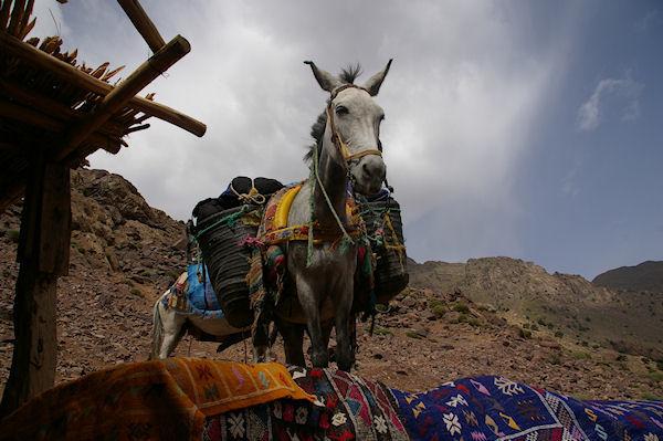 A Sidi Samharouch, une mule attend patiement que son patron ait fini de boire le thé!