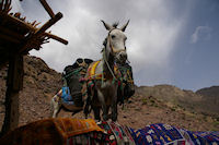 A Sidi Samharouch, une mule attend patiement que son patron ait fini de boire le the!