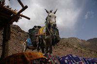 A Sidi Samharouch, une mule attend patiement que son patron ait fini de boire le the!