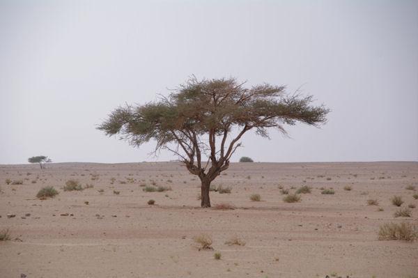 Un rare acacia