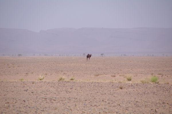 Dromadaire allant se desaltérer au puit, au fond, le Jebel Bani