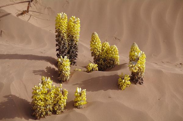 Fleurs du désert